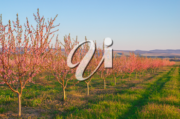 Spring of peach garden. The blossoming trees and blue sky.