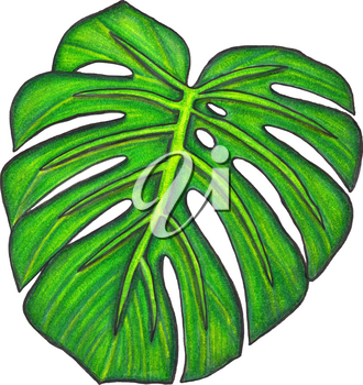Monstera leaf. Illustration made with colored pencils. Drawn by hand. Isolated on white. Design for card, poster or wallpaper. There is an option in the vector.