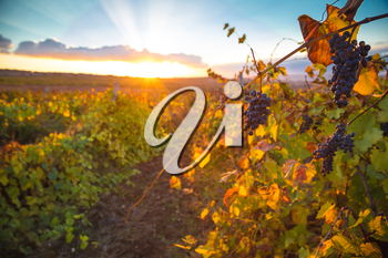 Gorgeous sunset over beautiful green vines. Nature background with Vineyard in autumn harvest. Ripe grapes in fall. Wine concept