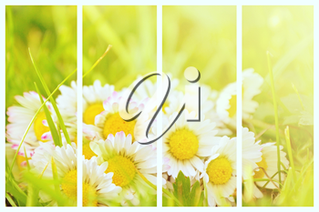Abstract collage with fresh daisy plant. A collection with fresh daisy. Background collage.