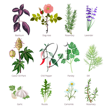 Eating herbs and spices. Healthy organic food and different herbs and flowers valerian rose pharmaceutical vector pictures. Illustration of basilicum and rosemary, lavender and basil