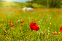 White horse grazing in a field of blooming poppies