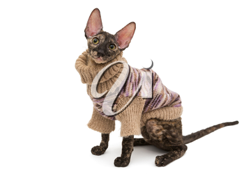 Cat breed Cornish Rex  in a warm sweater, isolated no white