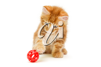 Small Maine Coon kitten plays with a red ball, isolated on white
