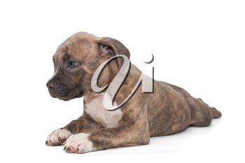 Small American bully puppy lies on a white background, isolated