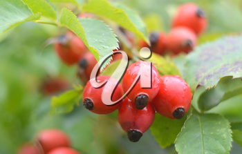 Close-up of dog-rose berries. Dog rose fruits Rosa canina. Wild rosehips in nature.
