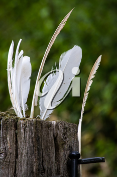 White feathers stuck in a rotting wooden gatepost