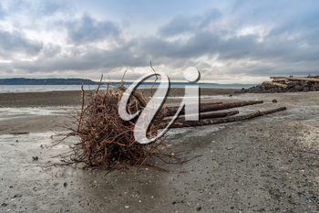 A cluster of roots stands out on a driftwood tree at Saltwater State Park in Des Moines, Washington.